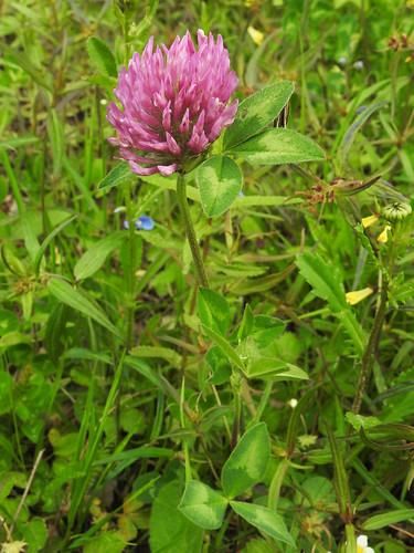 Trifolium pratense - Red Clover-apila Photo by Kari Pihlaviita www.flickr.com/photos/42267636@N08/ Автор фото: Kari Pihlaviita