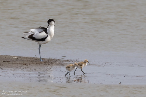 Kluut met jongen (Pied Avocet with chicks)