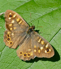 The Speckled Wood (Pararge aegeria)