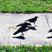 Crow Family by AfricanViolet.co.uk