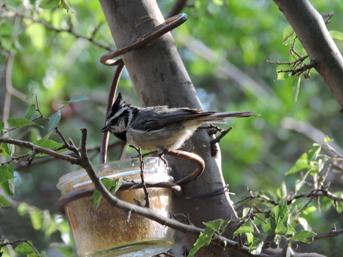 #61 Bridled Titmouse (Lifer #165)