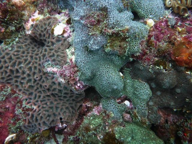 不同種類的表覆型珊瑚彼此競爭空間-蕭伊真攝, Panasonic DMC-FT4