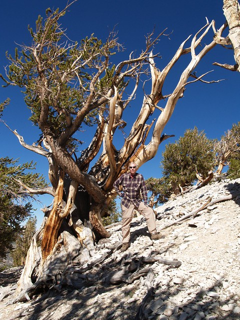 094 Me posing next to an ancient bristlecone pine - anyone can feel young in this place!