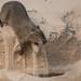 Capybara (Tim Melling)