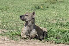 Hyena with flies