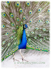 Vertical view of the beautiful Peacock