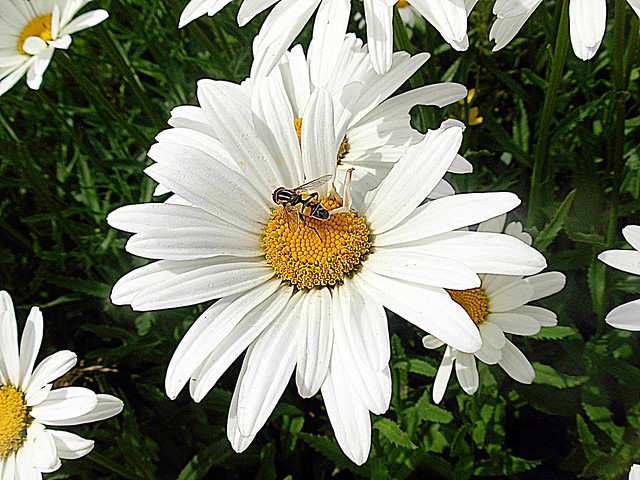 2017-07-03 daisies and insect, Nikon COOLPIX L5