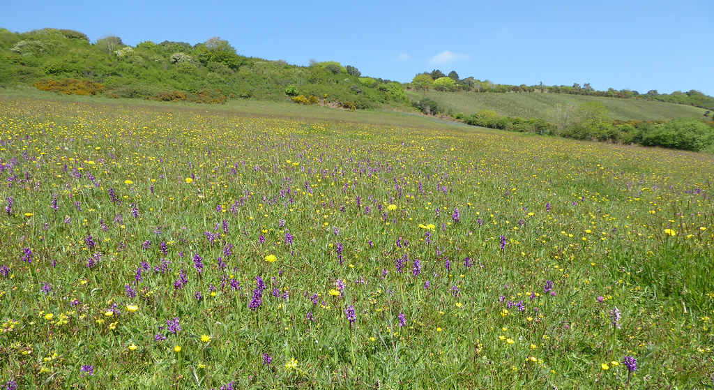 Meadow with orchids 4