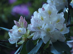 rhododendrons,iris et seringas