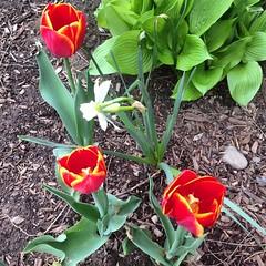 Fillmore tulips 1