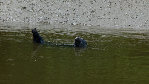 Seal by the shore, River Dart