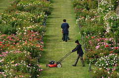 Mowing the Rose Garden