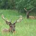 Elk Jasper NAtionalpark Canada
