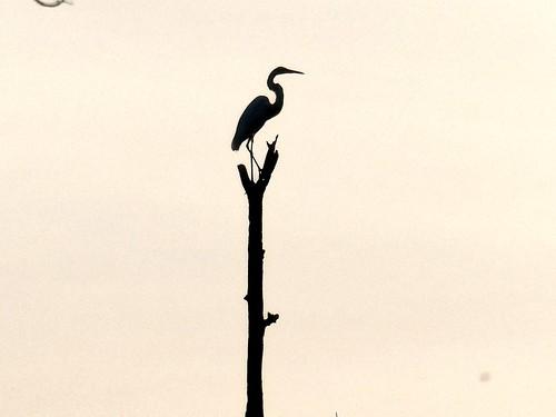 pgparks heron jugbay lumix maryland panasonic park patuxent patuxentriverpark photolemur princegeorgescounty princegeorgescountydepartmentofparksandrecreation silhouette tz90 wetlands zoom zs70