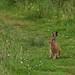 Brockholes Hare