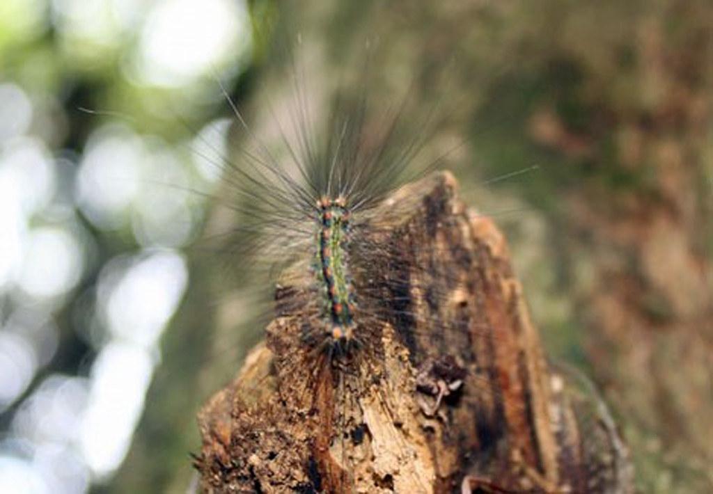 larve på Borneo