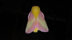 Rosy Maple Moth (Dryocampa rubicunda), Bob Evan's Restaurant, Prince Frederick Quad, Calvert County, MD, 2017_0623
