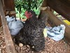 :hatching_chick: new chicks at PermaTree