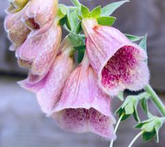 Bell flowers pastel