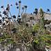 Small photo of Tree Aeonium (Aeonium arboreum var. 'Atropurpureum')