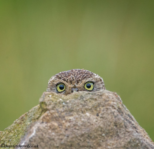 Little owl july 7th 2017 (1 of 1)-8