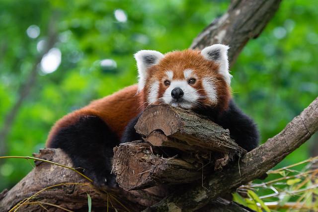 Tired red panda
