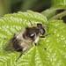 Hoverfly - Cheilosia illustrata