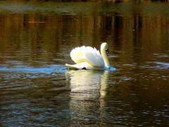 Swan Gloriole