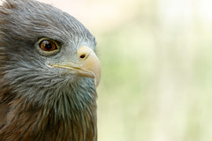 Eagle standing and looking at you