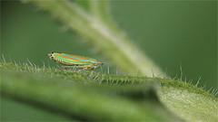 Smug Bug