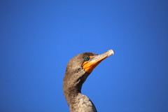 DOUBLE-CRESTED CORMORANT #3