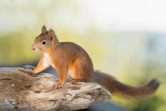 red squirrel  standing on  tree trunk