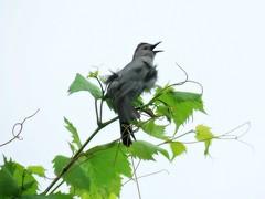 Gray Catbird Being Boisterous