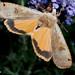 DSC_8341 - Huismoeder ( Noctua pronuba ) -  Yellow Underwing by Arnoldus1942