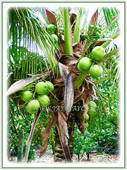 Cocos nucifera (Coconut Palm Tree, Malayan Coconut Palm, Green Malayan Palm) producing coconuts in abundance, 11 Oct 2009
