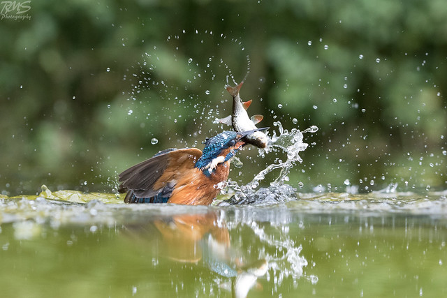Eurasian Kingfisher