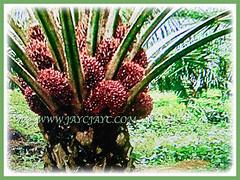 Elaeis guineensis (Oil Palm, African Oil Palm, Kelapa Sawit) fruiting in abundance, 1 July 2017