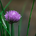 Chive ~ 178/365 2017