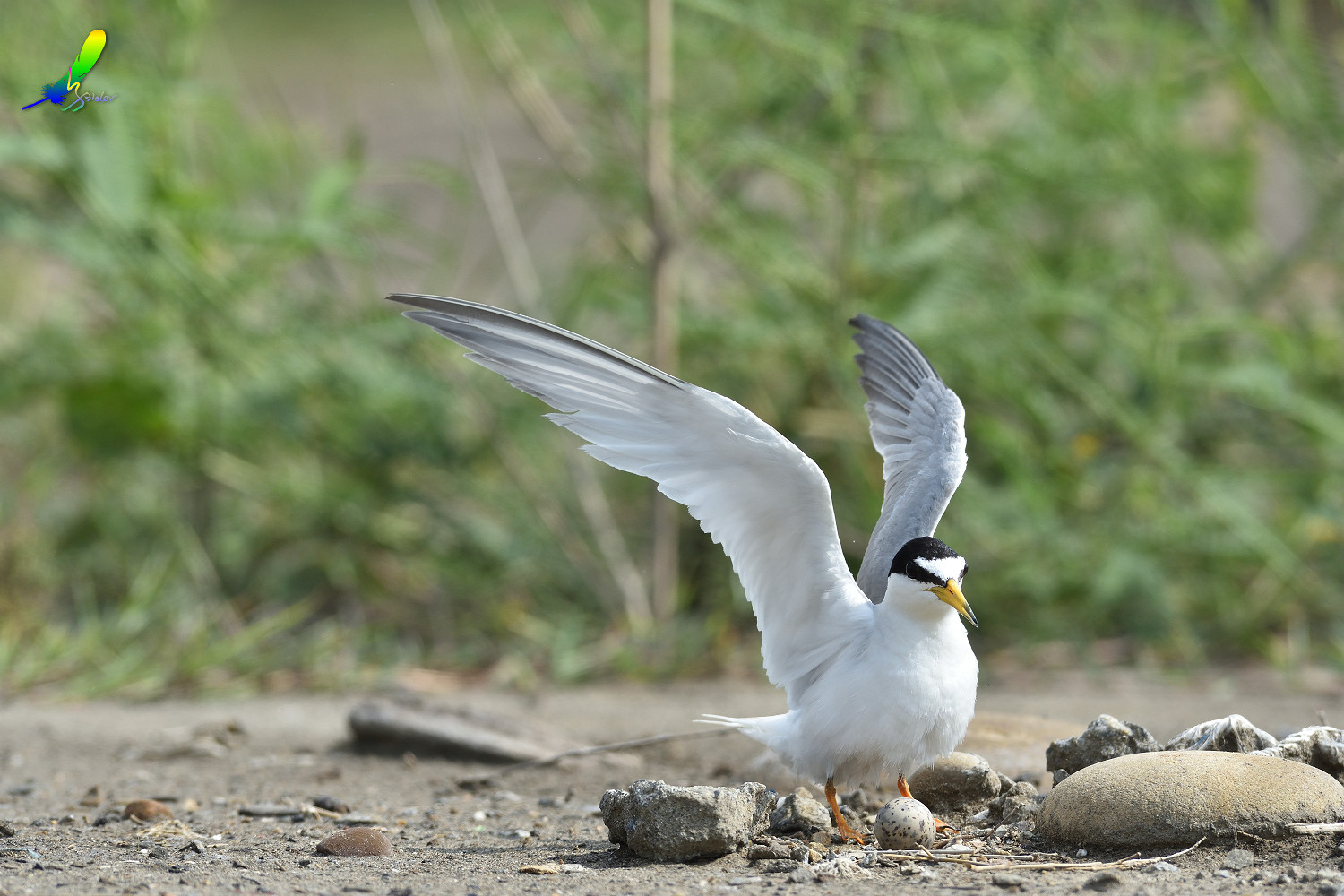 Little_Tern_6740