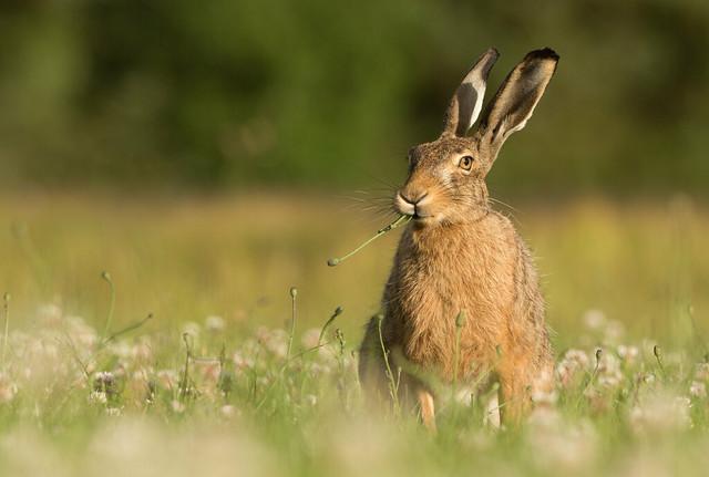 Sun set Brown Hare