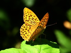 Tabac d'Espagne - Silver-whashed Fritillary