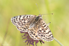 Spotted Fritillary (female)