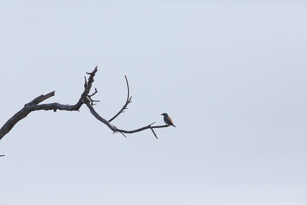 European Roller  Coracias garrulus
