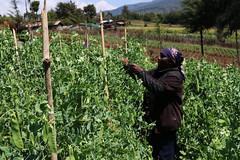 Bean farm in Kenya