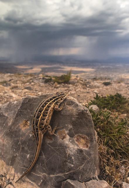 Slevin's Bunchgrass Lizard Enjoying, RICOH PENTAX K-3, HD PENTAX-DA 15mm F4 ED AL Limited