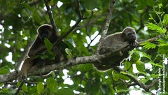Howler Monkeys, Ecuador