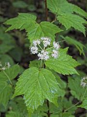 Common Ninebark(Physocarpus opulifolius)