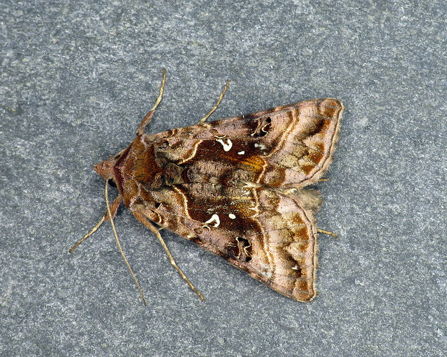 73.016 Beautiful Golden Y - Autographa pulchrina