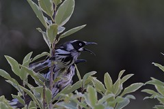 New Holland Honeyeater ( Not happy )