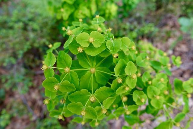 Euphorbia inflorescence